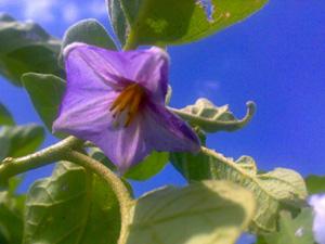 bunga terung ungu