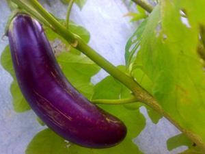 buah terung ungu